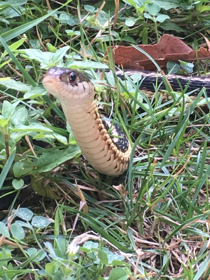 """This morning I met up with a little snake slithering in the grass near me so I decided to share Reiki with him. I never shared Reiki with a snake before but for some reason I felt a connection with him and I asked him if would like to sit with me and meditate for few minutes. I sat down next to him, and he stayed still and then lifted his head up and stayed that way for 15 -20 minutes or so . We sat together in silence, in a beautiful Reiki space."""" I even chanted with him and I swear he was smiling! I posted this on my FB page, Inner Peace Reiki, and if you listen to the video you can hear how loud the birds were too as we shared Reiki. I love my yard and this time of year. I usually am afraid of snakes but the funny thing about this was I had practiced a meditation a few days earlier, bringing in the wise, ancient wisdom of the snake energy, which helps us go deep within ourselves for healing, and I didn't feel any fear or surprise when I saw this snake in my yard. Instead, I felt affection towards him as I would any other animal I meet, and wanted to create a beautiful space of Reiki healing energy with him. The snake energy is all about patience, wisdom, slowing down, and being present and I believe that's what he was there to remind me of on this day. I would have missed all the special moments I experienced today, with all the animals in my yard, if I did not meet up with my new friend!"""
