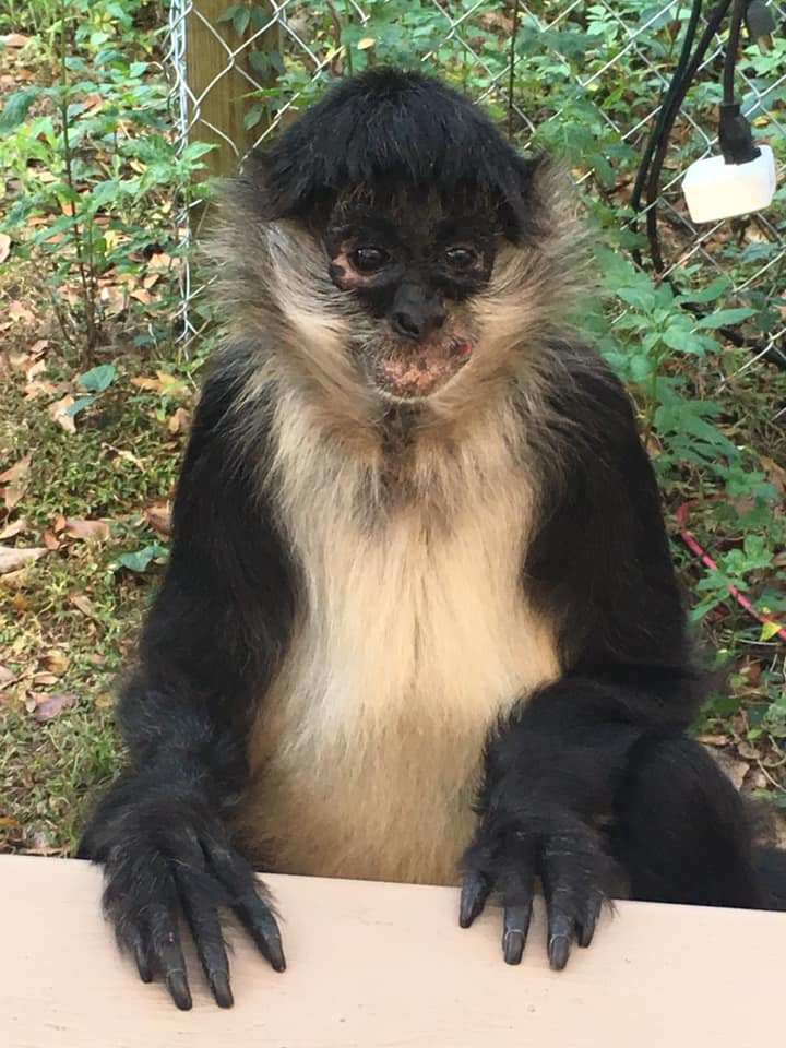 Amos loves Reiki and pizza! Amos now lives with the owner of the CARE Foundation, Apopka, Florida, Christin Burford.CARE is a Rescue for exotic animals. I had so many great Reiki experiences here with the caregivers and animal residents. Such a sweet boy! Purchased as a baby, Amos was raised by human parents, until they passed away, which left him traumatized. Thank goodness he found his way to Christin at CARE, who provides him with all the love and the attention, he so deserves. Amos is 28 years old. #trustintheuniverse #belove #bekind #bereiki #animalteacher #monkeymind #justfortodaydonotworry #animalslovereiki