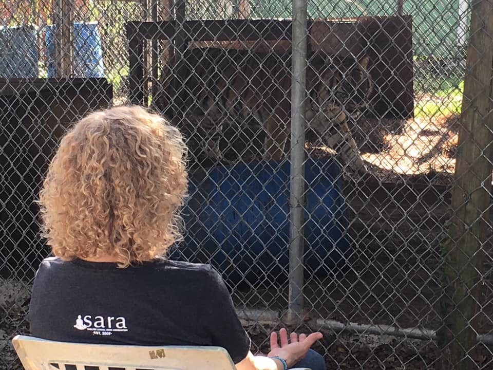 """""""Being Reiki"""" with Tyrion the Tiger, at CARE Foundation, Apopka, Florida. I learned so many great lessons from the 3 tigers here. Tyrian, Daenerys, and Katrina. Lessons in inner strength, letting go of fear and worry, be brave, know who you are, your true-self. Stand in your truth! Such great spiritual teachers! #tigerenergy #heartenergy #verywise #strengthinsilence #strengthinknowingyourtrueself #animalreikiteachers"""
