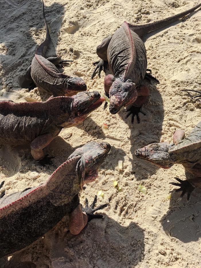 iguana 1.jpg