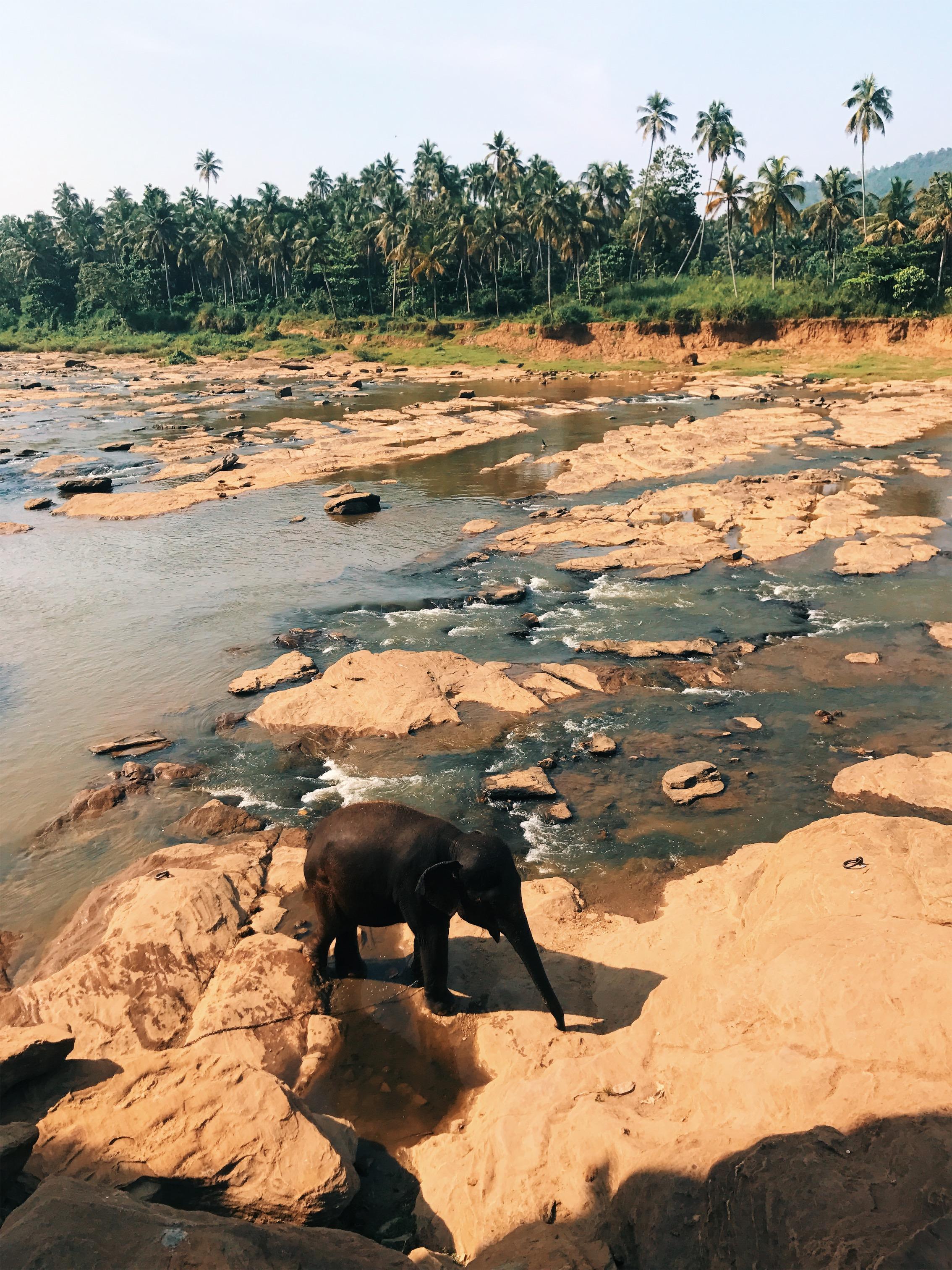 Pinnawala baby elephant bathing