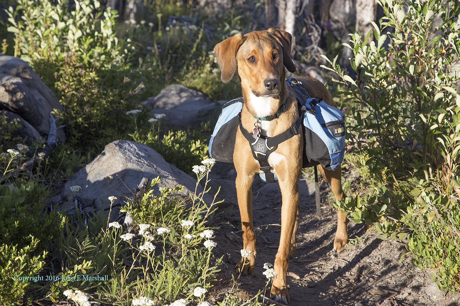 Oberon, our Catahoula Hound Dog puppy was a great addition to the trip.  Nine months old in this picture he carried a light load.  He did great at negotiating all of the logs in the trail. He was very willing to put on the pack, and did not try to take it off.  Good Boy!!