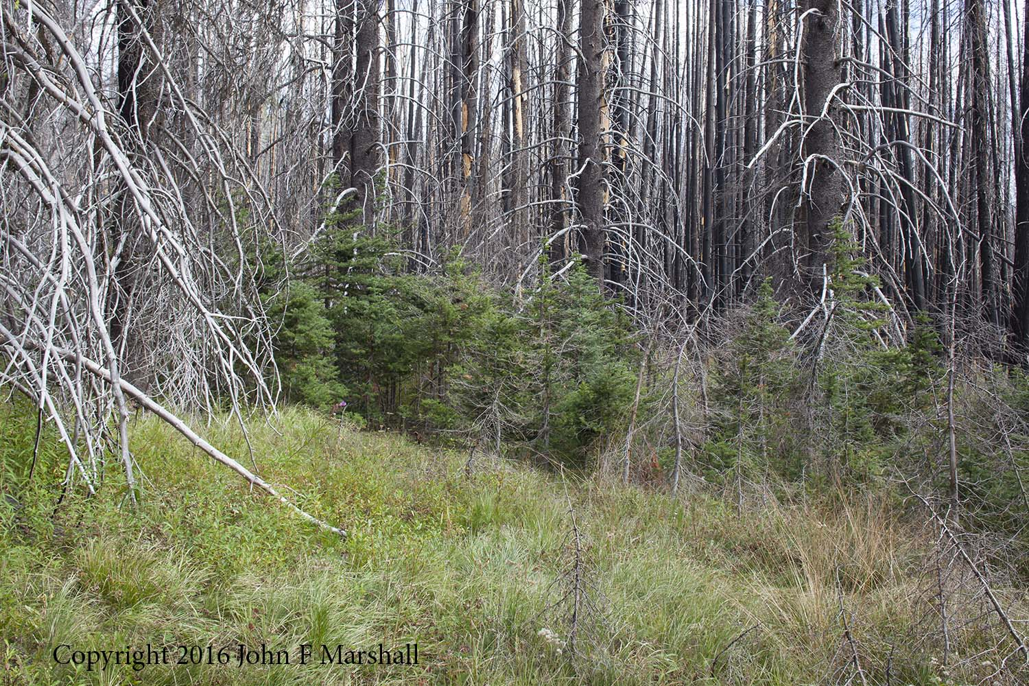 NNMW-7-1  September 7, 2016.  The scorched sapling subalpine firs have surprised me with their resilience.