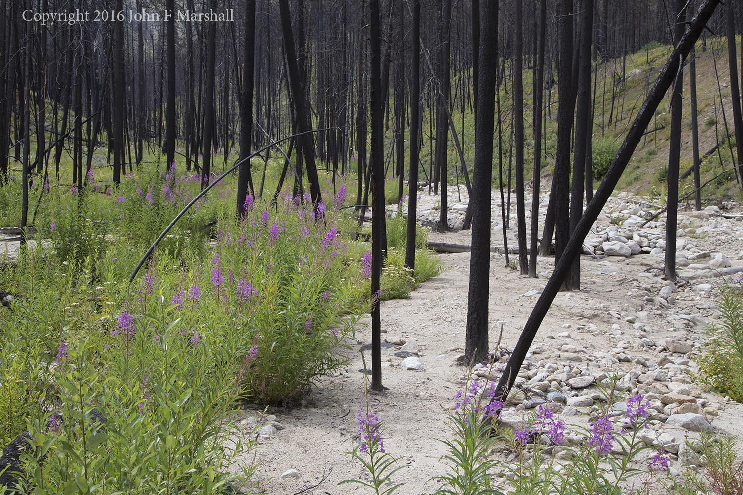 Fireweed blooms where floodwaters swept the summer before.  Frazer Creek, west of Loup Loup Summit.  Carlton Complex Fire 2014, 2016 Photo