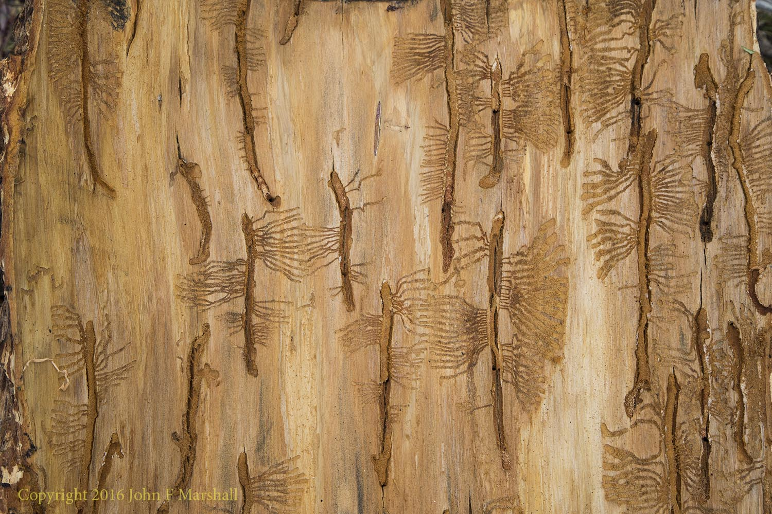 Insects don't create art, or do they?  Egg galleries made by Douglas-fir beetles (Dendroctonus pseudotsugae).  I found these patterns on the underside of some bark from a large Douglas-fir tree.  The tree was injured by the fire, and finished off by the bark beetles.