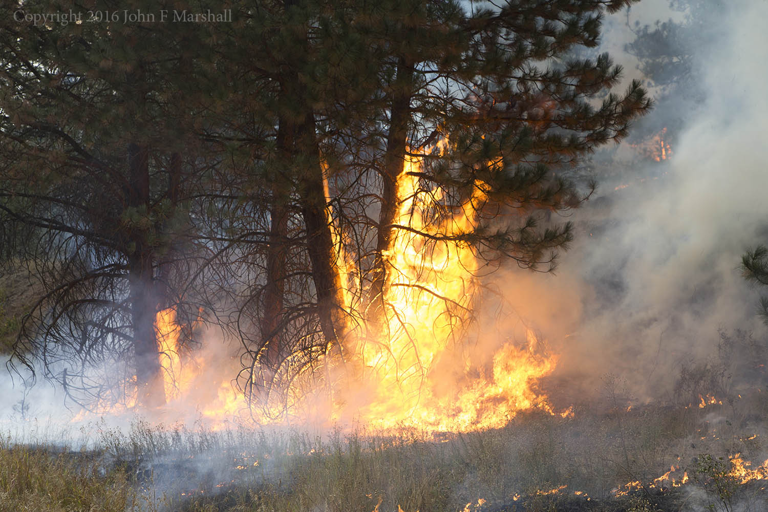 The fire is getting with it.  What readily burns, will burn up.  These are ponderosa pines, and they can take it!