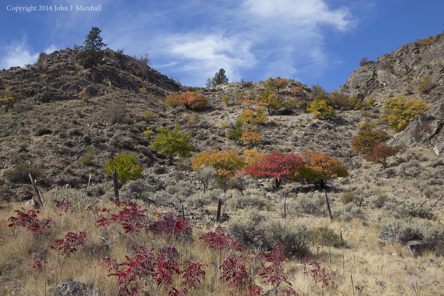 The apricot trees are scattered along a southeast facing slope for a mile.  The red plant in the foreground is smooth sumac,  Rhus glabra , a native.