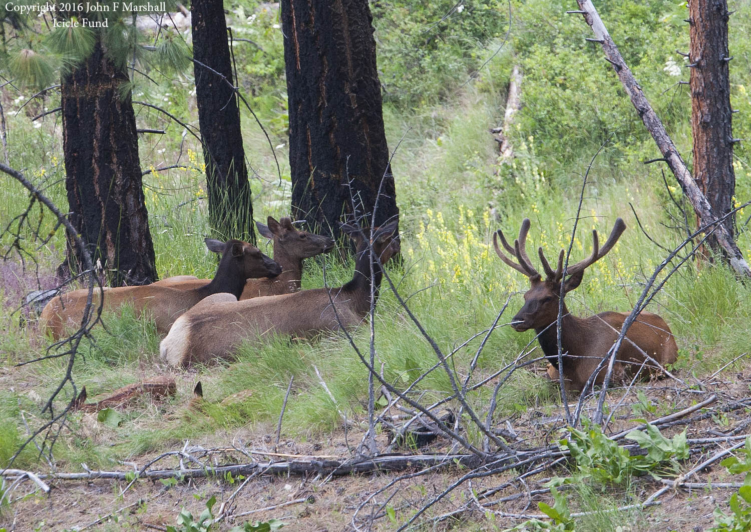 A bull elk in velvet rests among yearlings, and two calves near Boundary Butte off of Blewett Pass Highway on the Okanogan-Wenatchee National Forest, Washington. I did a long sneak on my belly to get this picture.