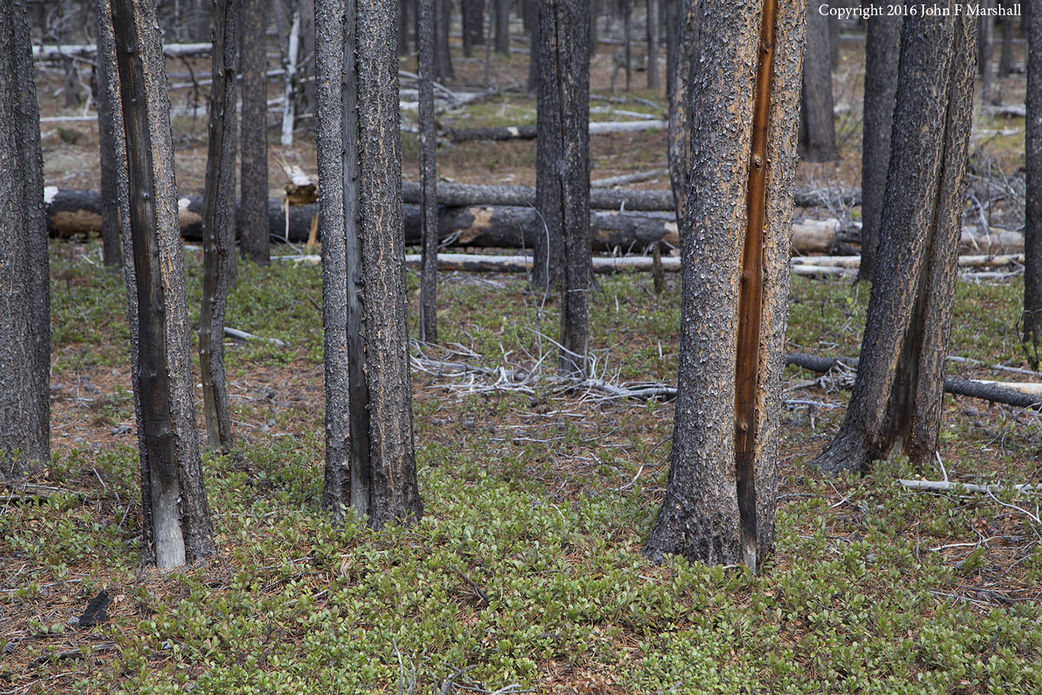 Although lodgepole pine has very thin bark and little protection against fire, it can survive low intensity fires as evidenced by scarring seen here.   The ground cover is kinikinik, a shrub that does not readily burn.  Middle Fork of Toat's Coulee, Pasayten Wilderness, Okanogan-Wenatchee National Forest, WA.