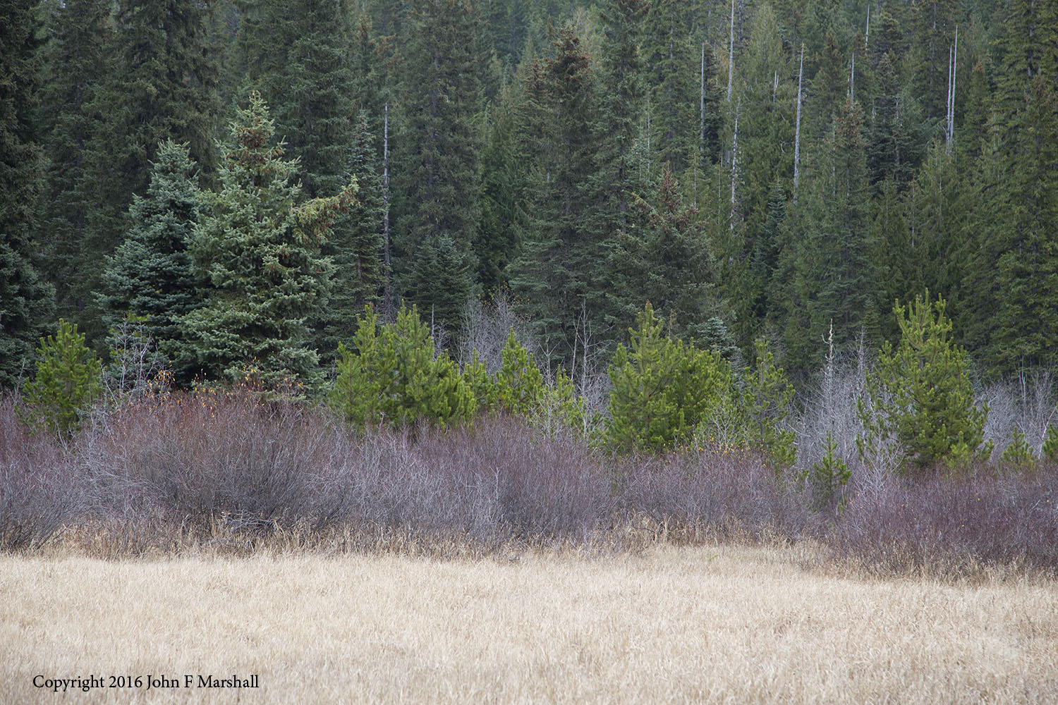 Lodgepole pine is able to grow in both well drained soils, and swampy ground.  The yellow-green trees seen here are lodgepole pines growing besides willow, and Engelmann-spruce at Summit Meadows on the Mt. Hood National Forest, Oregon.   Photograph taken in late fall.