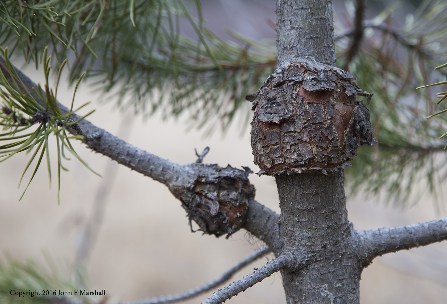 Western gall rust,  Peridermium harknessii,  causes galls and cankers to form on the branches and boles of lodgepole pine.  The fungal disease is spread from tree to tree by wind-borne spores, with major infections happening every five to ten years.