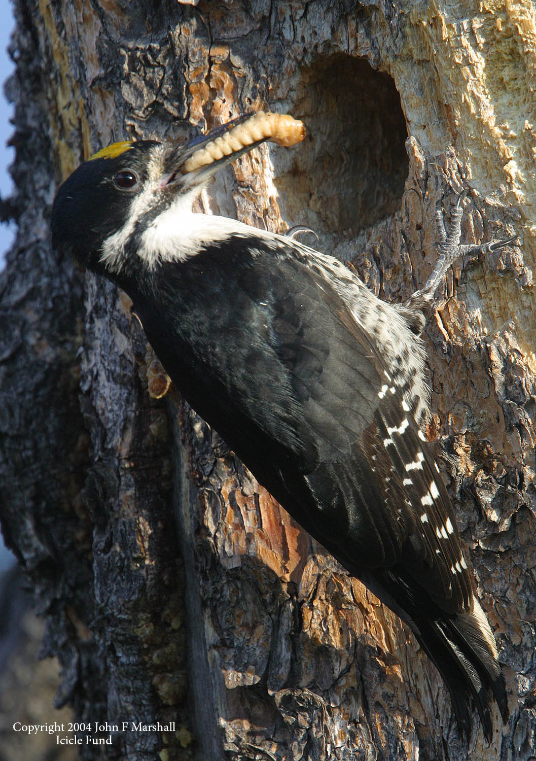 A male black-backed woodpecker delivers a larvae from a wood-boring beetle to it's nestlings within a cavity excavated in a living lodgepole pine tree. Wood borers are far larger than bark beetles.  Borers feed on dead wood, seldom killing live trees.  Fires and  bark beetles set up feeding and nesting opportunities for woodpeckers.     Black-backed woodpeckers seek out recent burns in the higher elevation forests for the foraging opportunity.