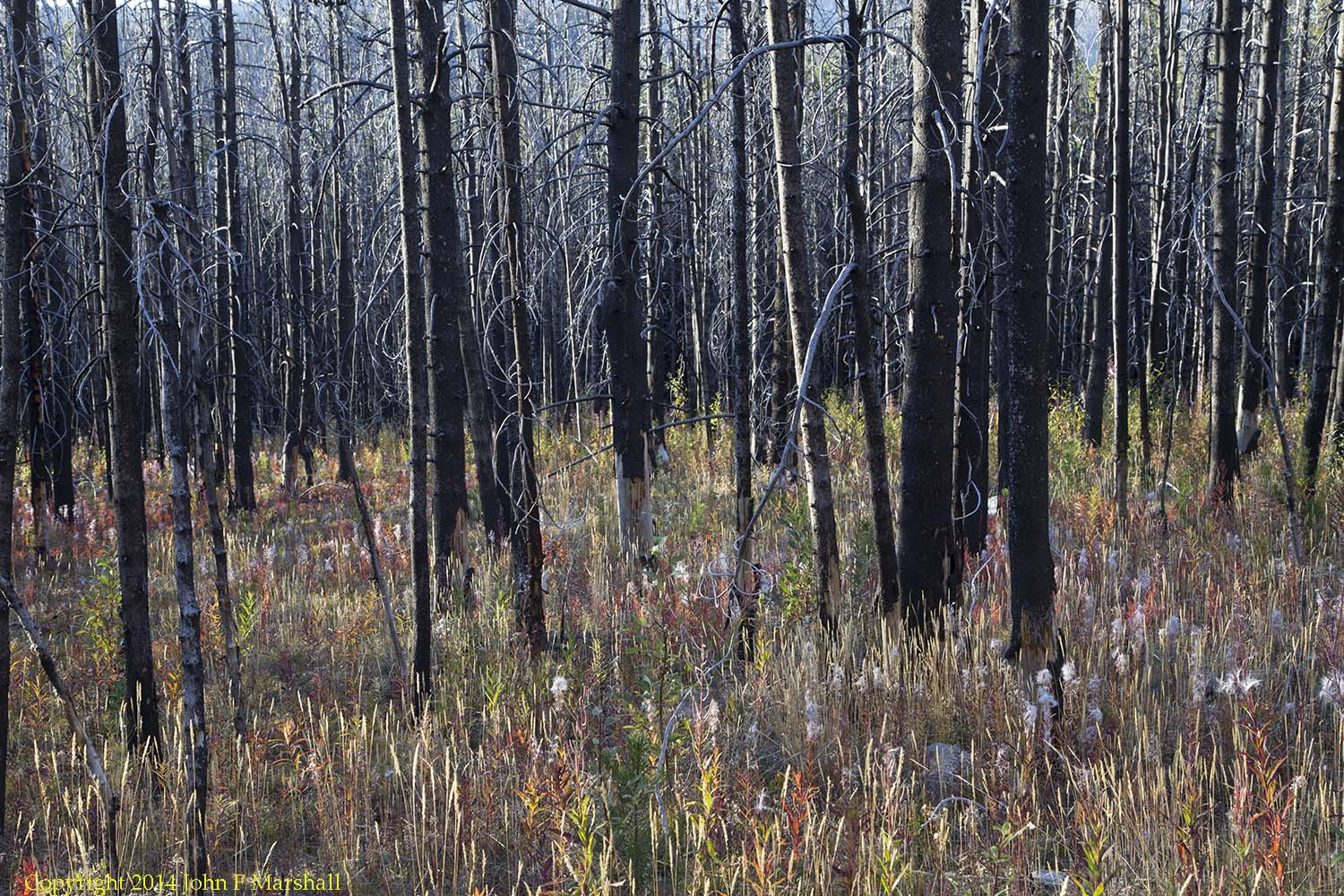 Eight years after the Tripod Fire of 2006, the ground is well covered by sun-loving plants including fireweed, grasses, and willow. Lodgepole pine seedlings are well established. Wildlife species that browse willow, feed on grouse berries, or eat seeds will find more to eat here in the summer than in the closed canopy forest.