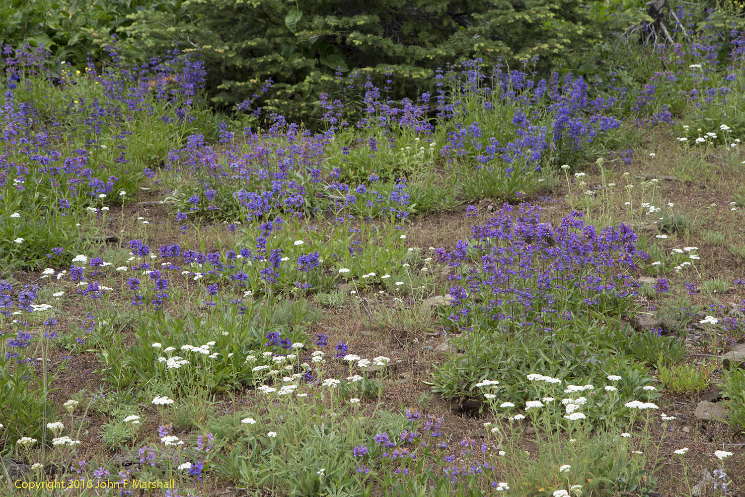 Penstemon and yarrow growing on lithosol soils in the Blue Mountains, Umatilla National Forest.