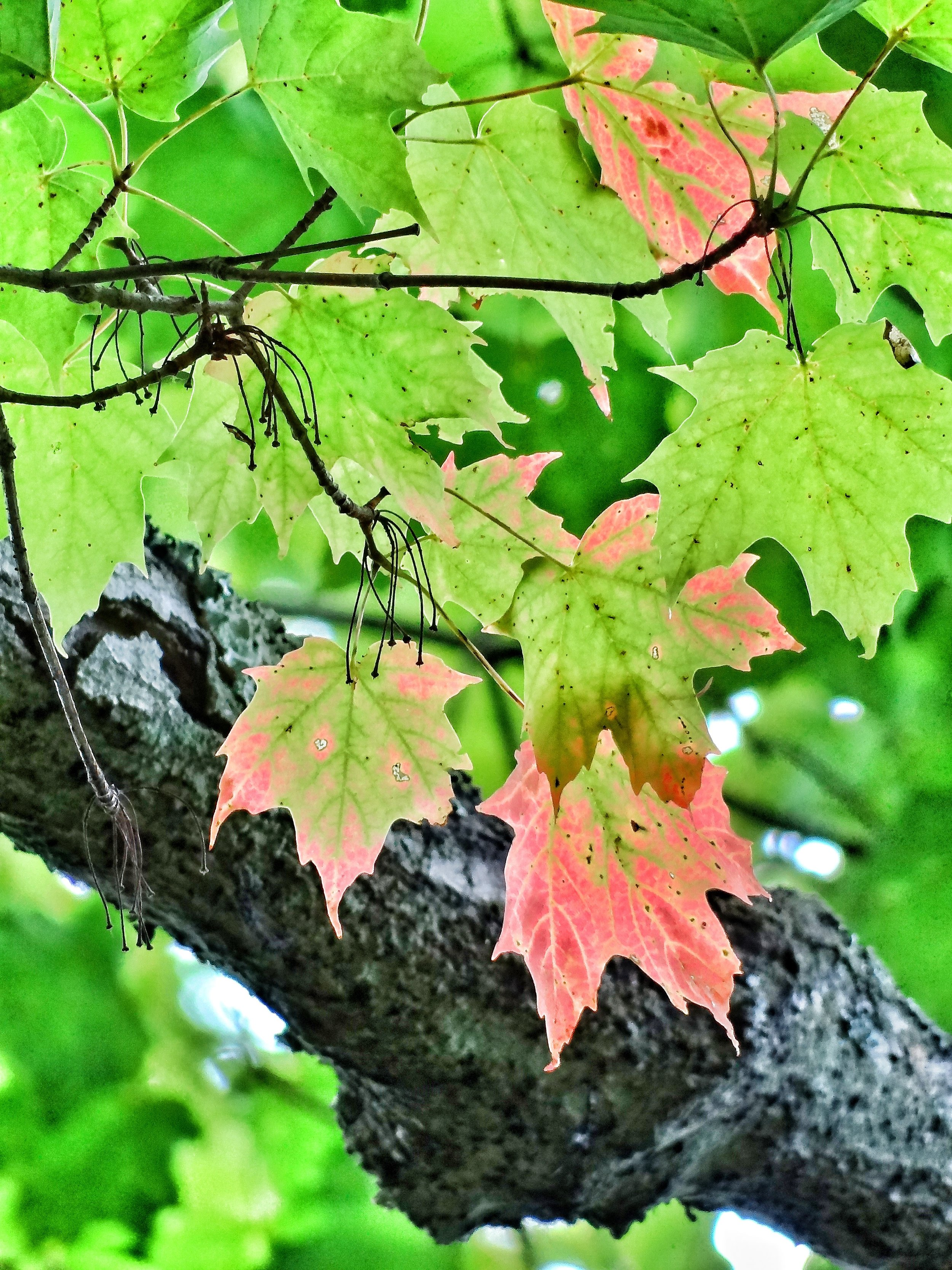 An early harbinger of autumn in Door County's Peninsula State Park
