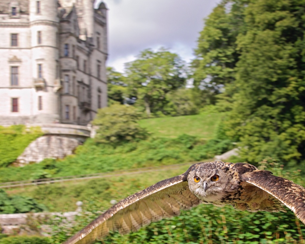 Great timing: a falconry demonstration at Dunrobin Castle included an appearance by this beauty