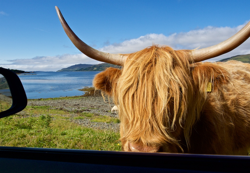 Getting up close and personal with a cheeky Highland cow on the Isle of Mull