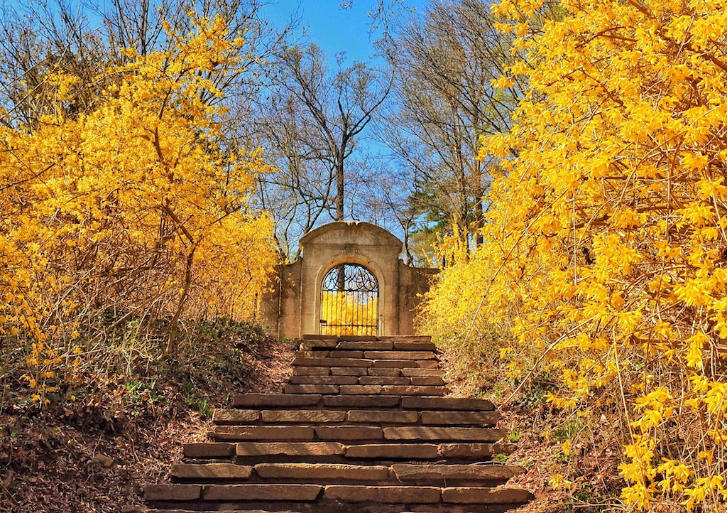 Our annual visit to Washington, D.C. coincided with a riot of forsythia blooms at Dumbarton Oaks park