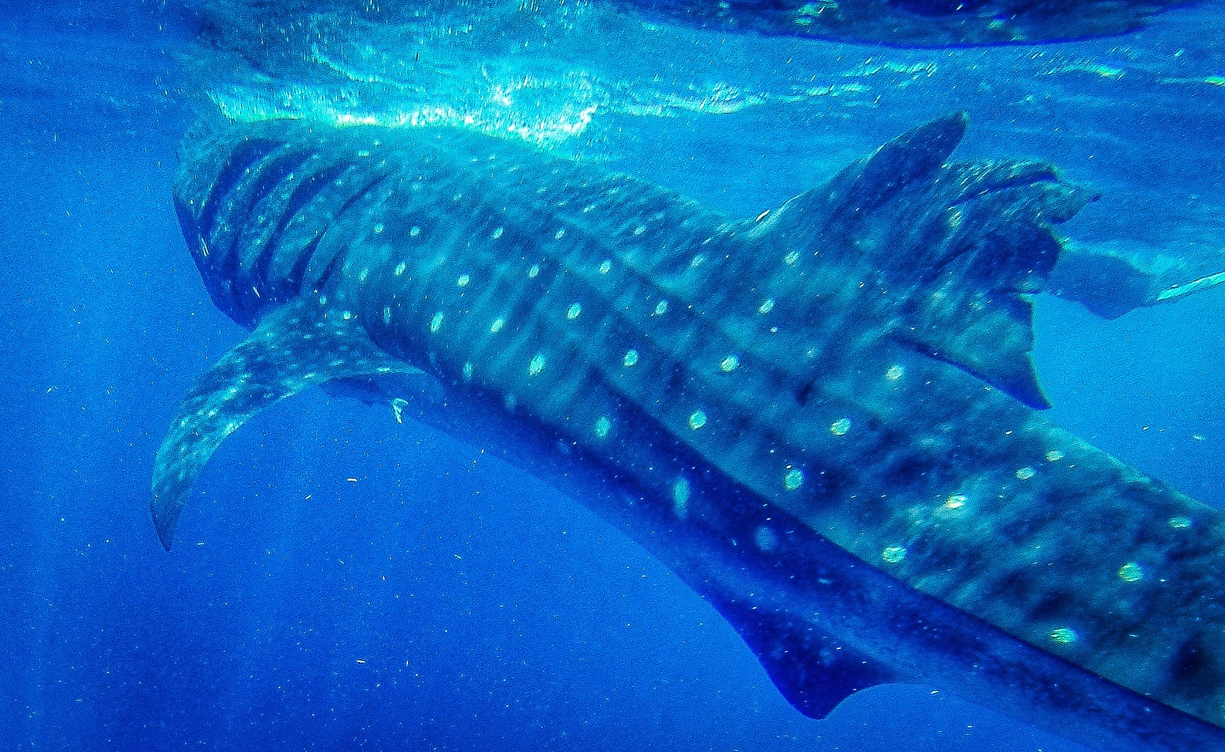 A close - and brief - encounter with a whale shark off Mexico's Yucatan Peninsula