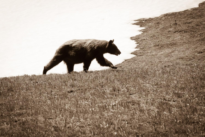 Cinnamon Bear on the Wonderland Trail