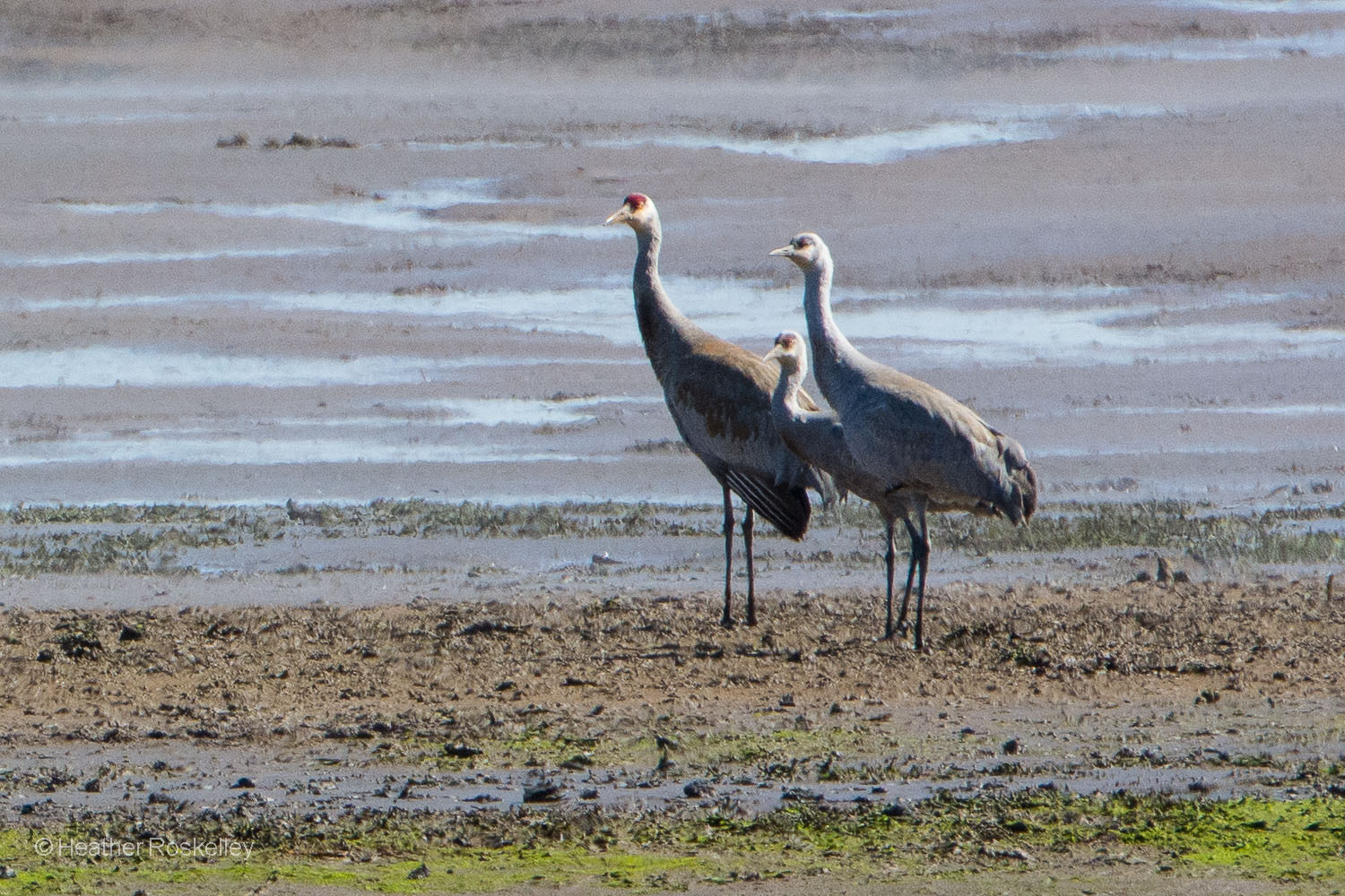 An adult Sandhill Crane with two young cranes.