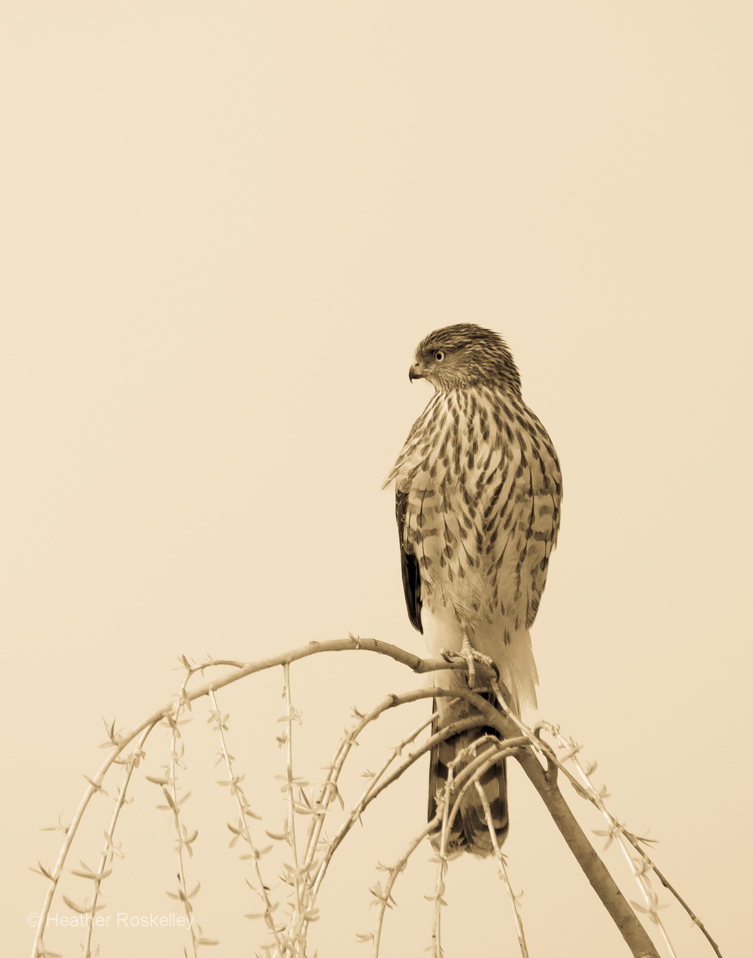 Young Cooper's Hawk in Willow Tree
