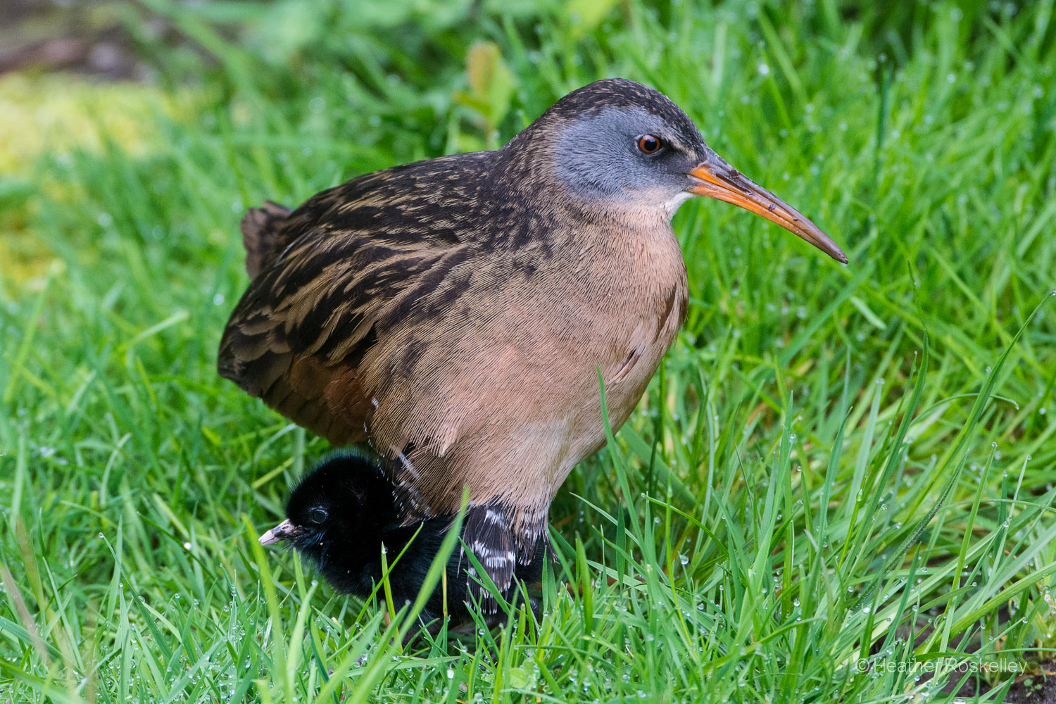 A downy black chick emerged from beneath the Virginia Rail mom.