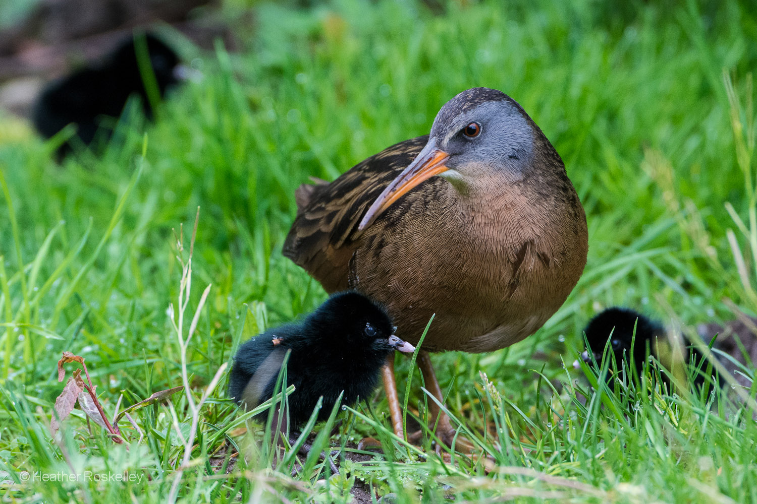 Two other chicks emerged to join their mother and sibling.