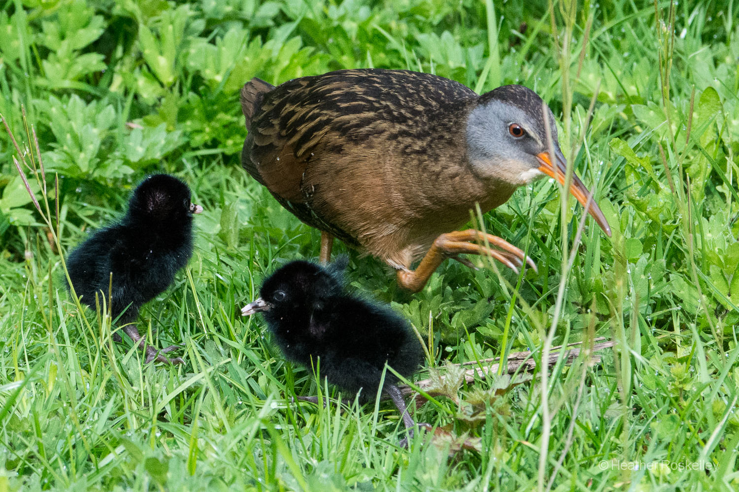 This photo shows the large size of Virginia Rail feet - perfect for traversing marsh vegetation.