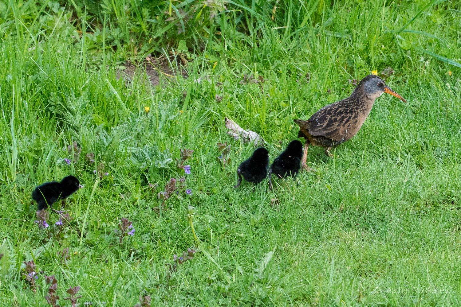 The Virginia Rail family continues on their journey. Some of the vegetation is taller than the chicks, making it hard for them to keep up with mom.