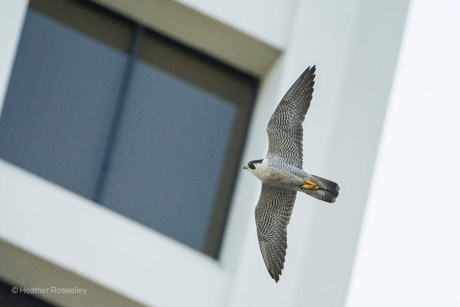 Murray, the father Peregrine Falcon, flies past a nearby office building in downtown Tacoma while searching for food for his chicks.