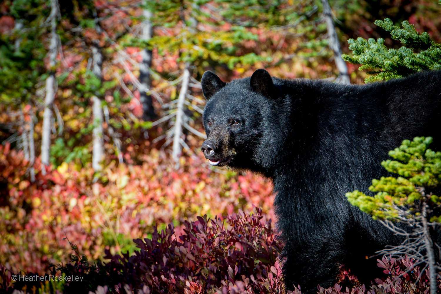 In preparation for hibernation, a Black Bear forages for food among blueberry bushes on the lower slopes of Mount Rainier.  If he lived on a wildlife refuge in Alaska, he could be killed in his den while he slept.
