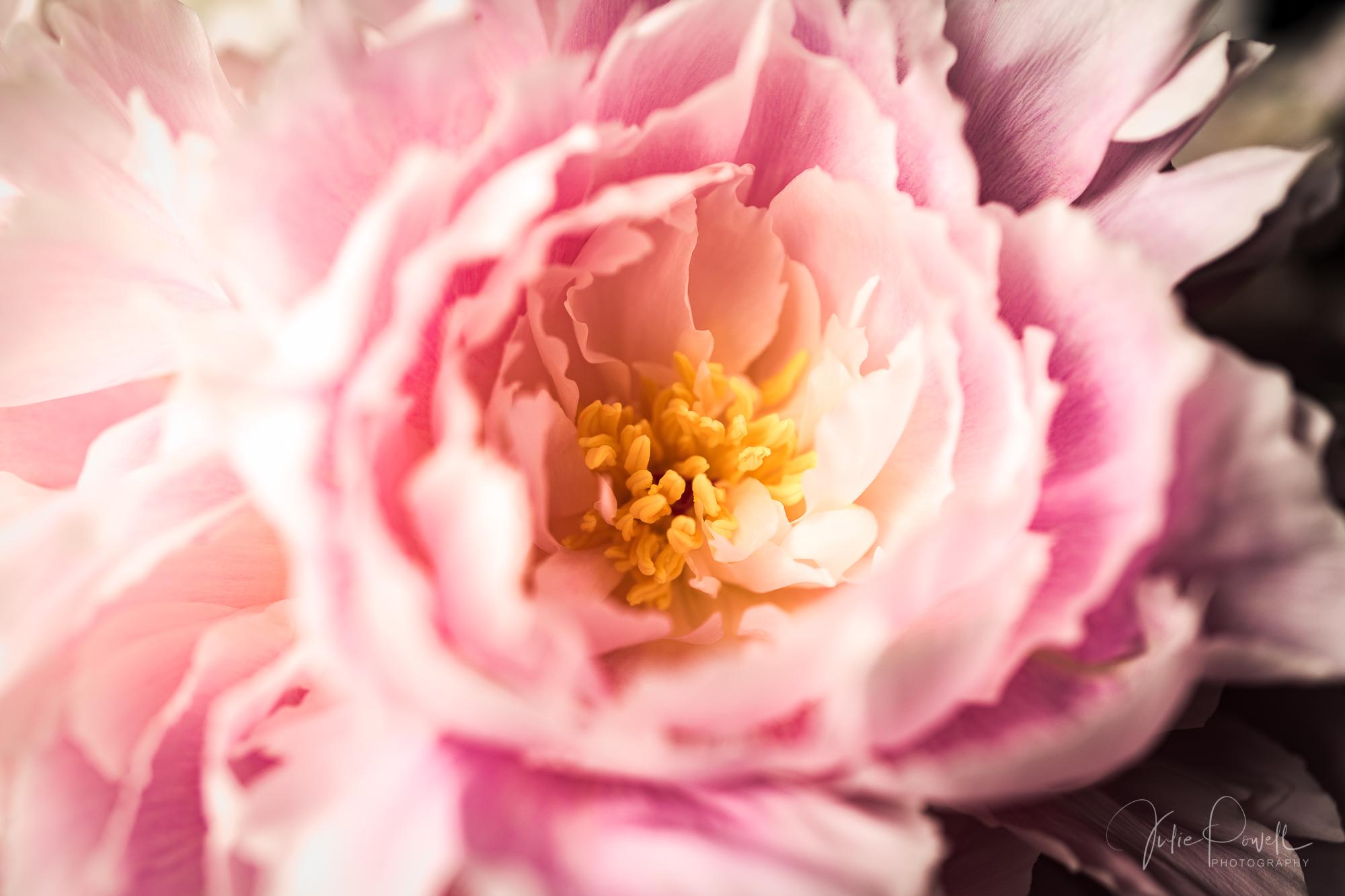 Julie Powell_Peonies Dark-13.jpg