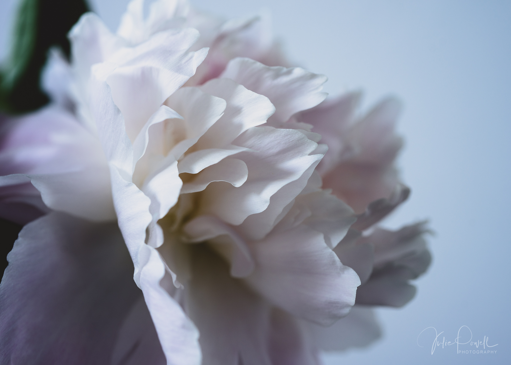 Julie Powell_Peony-10.jpg