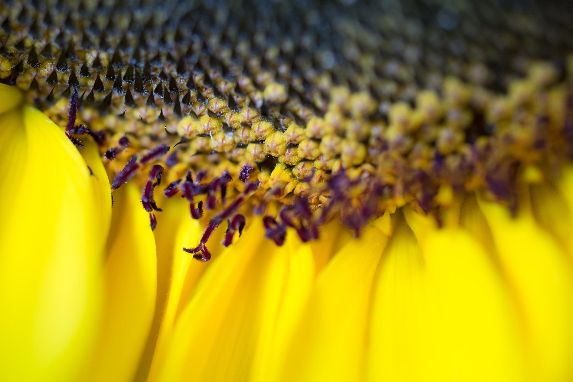 Julie Powell_Sunflowers-16.jpg
