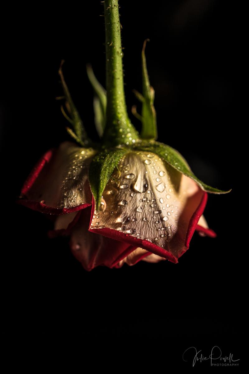 Julie Powell_Rose-4.jpg