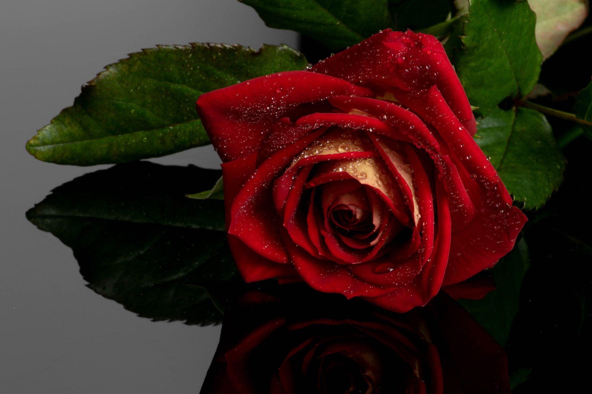 Liz Angus - Rose.jpg