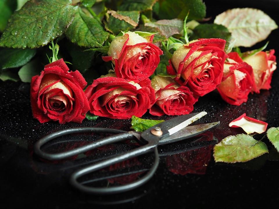 Marlies Roses.jpg