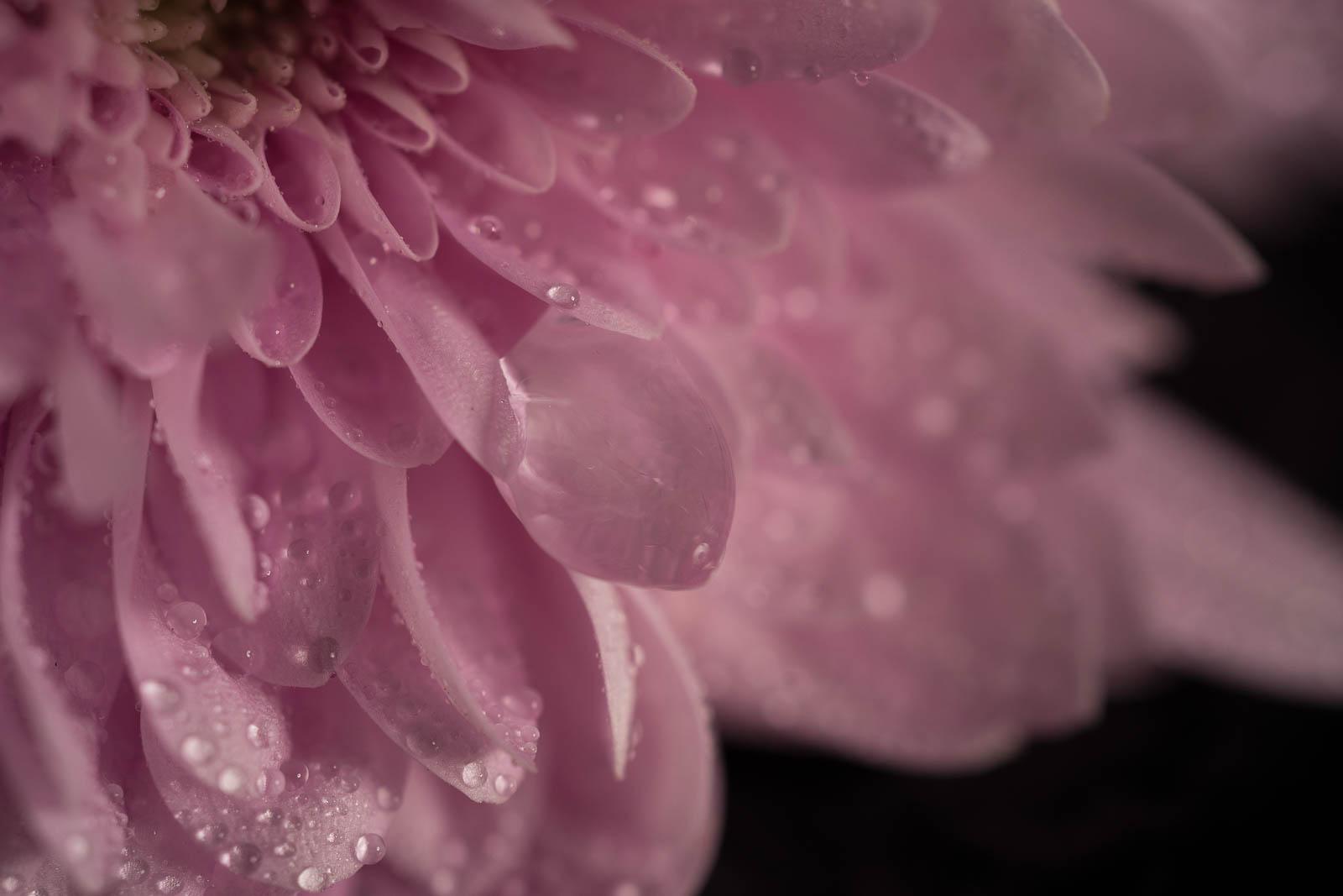 Julie Powell_Mums-5.jpg