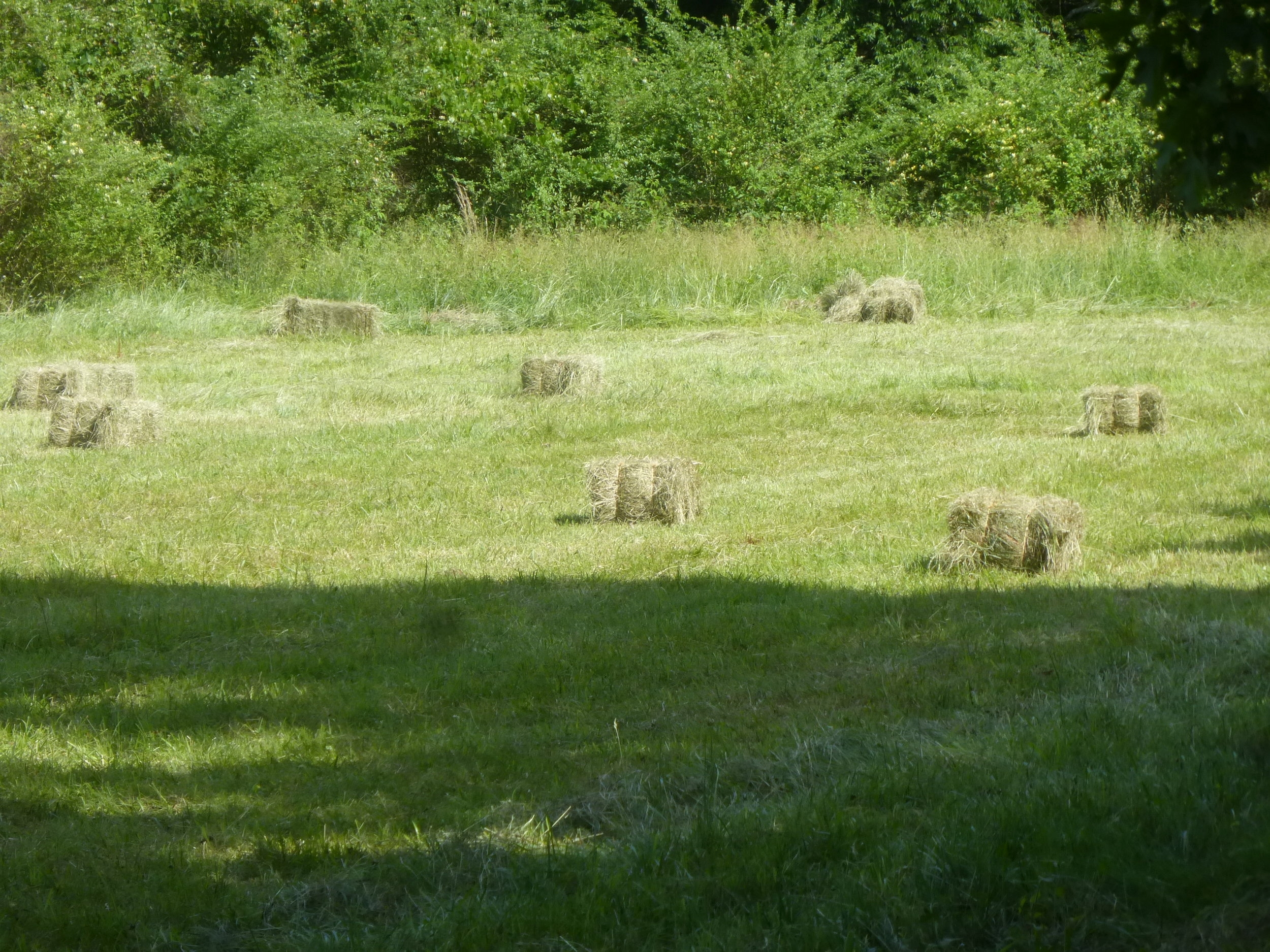 Lovely organic square bales of hay at Mulberry Lavender Farm - the first harvest of the season
