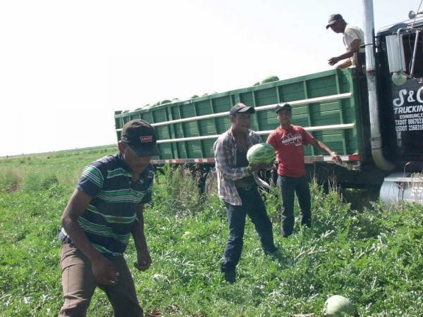 Fig 2.    A line of jumbo watermelon harvesters. Photo taken from Internet.