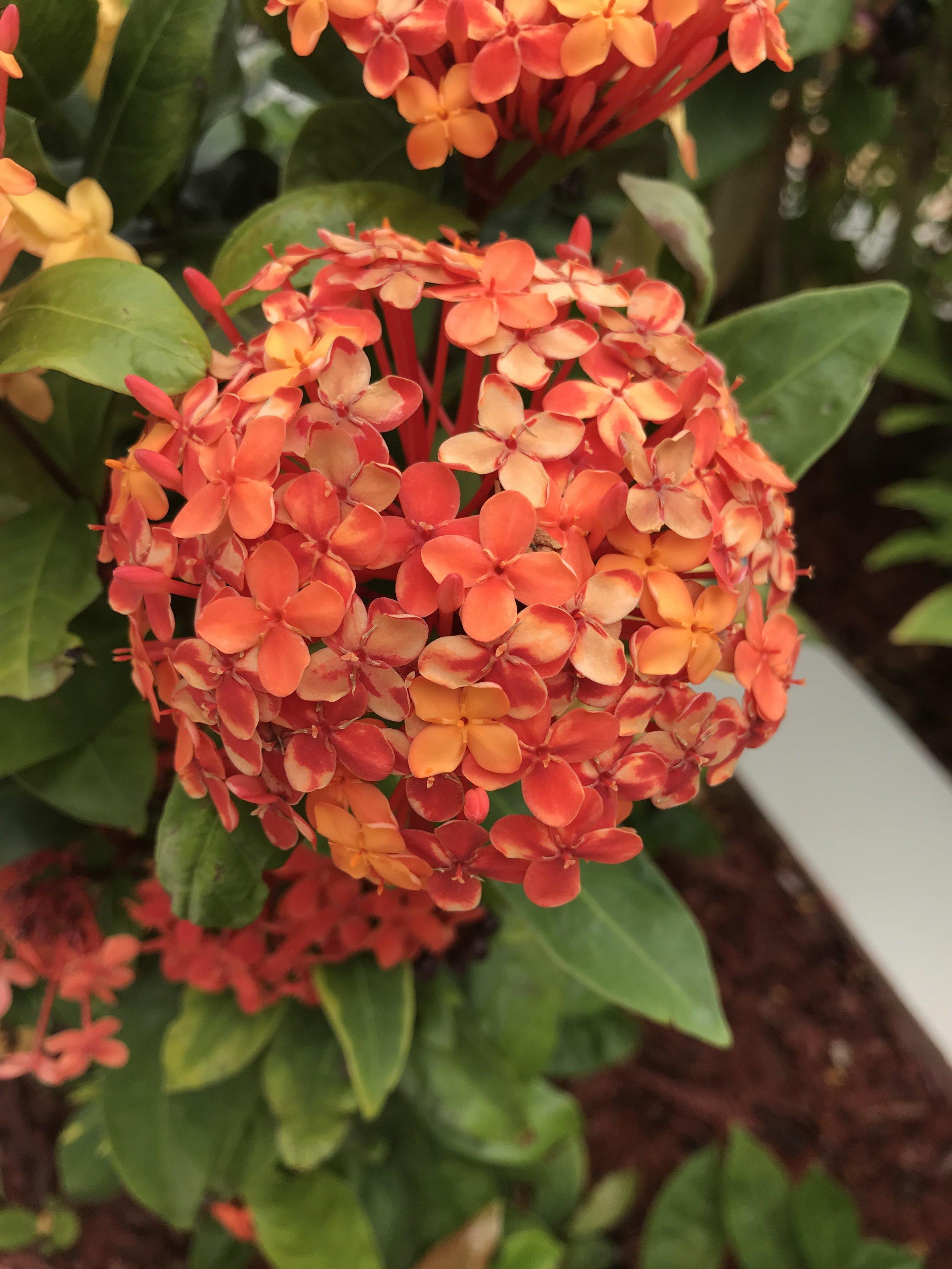 Ixora Ixora Coccinea - West Indian Jasmine
