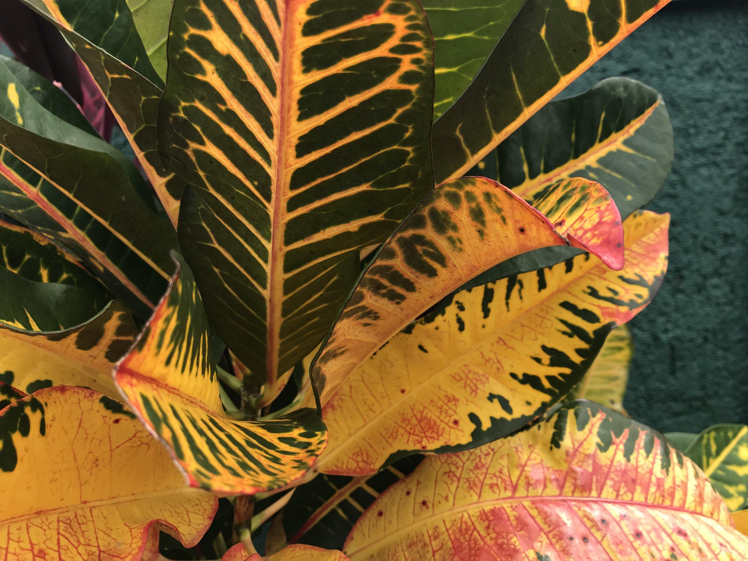 Codiaeum variegatum - Jamaican croton, Joseph's Coat