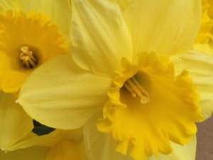 Happy, golden trumpets of the Daffodil