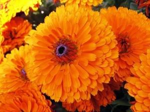Meditate on the joyous, vibrant Calendula flower  . Credit: mostbeautifulflower.com