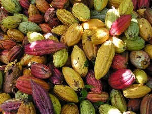 A cornucopia of cacao pods They sooo look like autumnal squashes!!