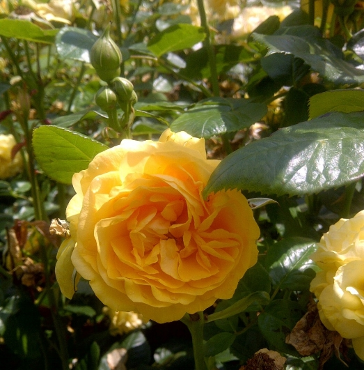AbFab frag! heavenly scented roses at Regent's Park, London