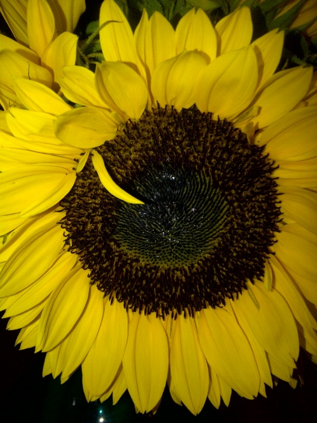 The glorious Sunflower -One of the seven flowers that changed the world!