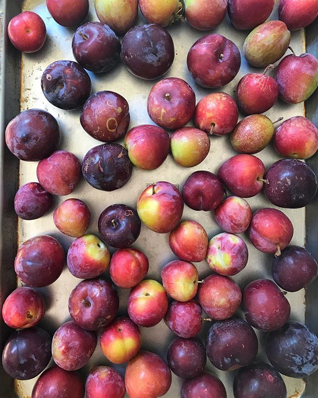 My parents went peach and plum picking this week and gave me some of these beauties. I was looking through recipes and wondering what to make of them, but then I tasted one and holy moly. They are perfect and delicious, just the way they are 😋