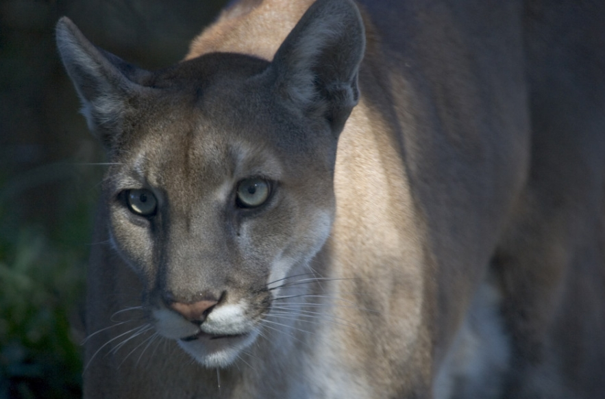 By Everglades NPS from Homestead, Florida, United States (Florida Panther (1), NPSPhoto, Rodney Cammauf) [Public domain]